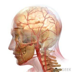 Система кровоснабжения головы