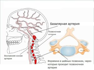 Базилярная и Позвоночные артерии, строение