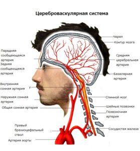 Строение кровеносной системы