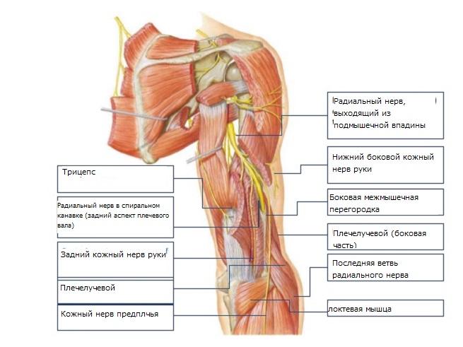 Структура нерва