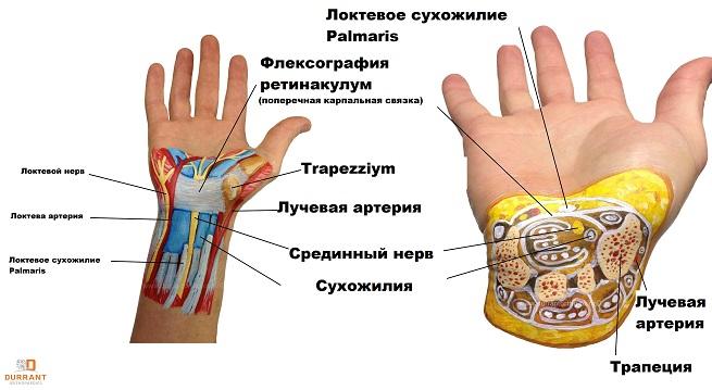 Анатомия нервных окончания