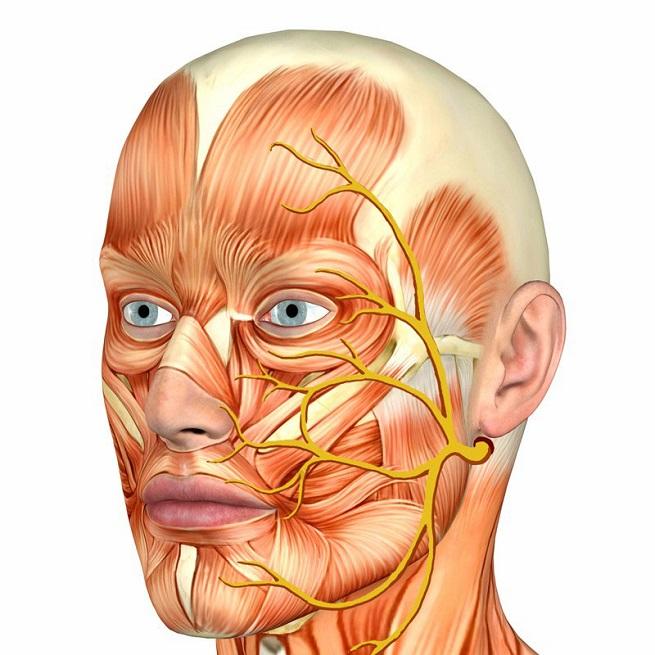 Строение лицевого нерва