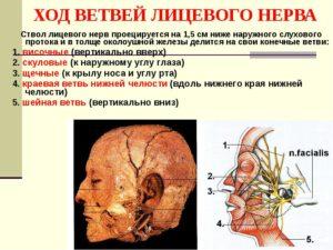 ветви лицевого нерва